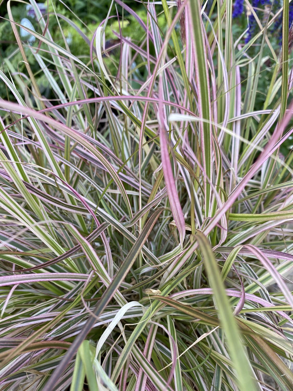 Grass Pennisetum Setaceum Cherry Sparkler 3L