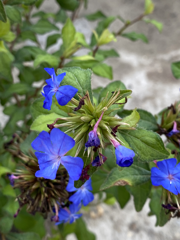 Ceratostigma Wilm.l Forest Blue 3L