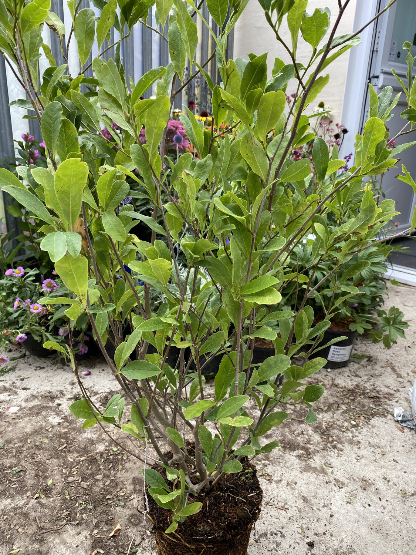 Magnolia Stellata Waterlily 5L