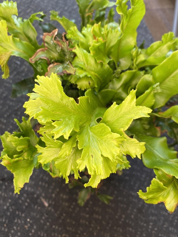 Fern Asplenium Cristatum 3L