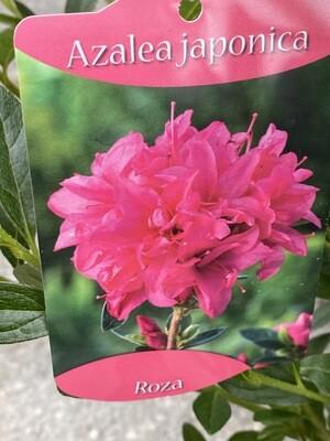 Azalea Japonica Roza 3L