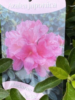 Azalea Japonica 'Madame Van Hecke' 3l