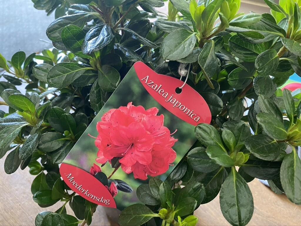 "Azalea Japonica ""Moederkensdag"" 3L"