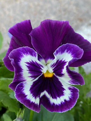 Winter flowering Pansy's tray of 6 plants