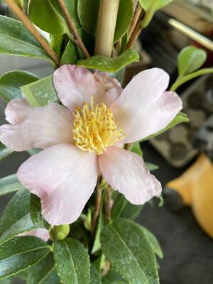 Camellia sas. Maidens Blush
