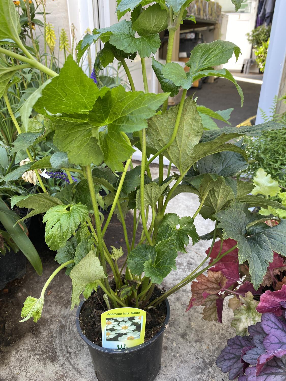 Anemone Hybrid White