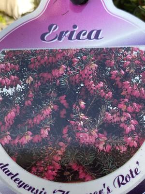 Erica Darleyensis Kramer's Red
