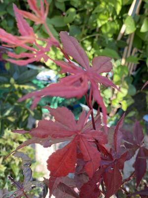 Acer Palmatum  Atropurpureum  5l