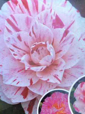 Camellia Japonica (various) 10l
