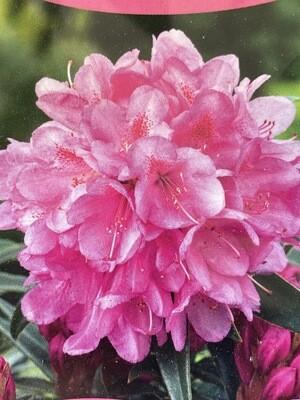 Rhododendron Graziella 5l