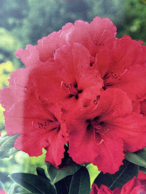 Rhododendron Red Jack 5l
