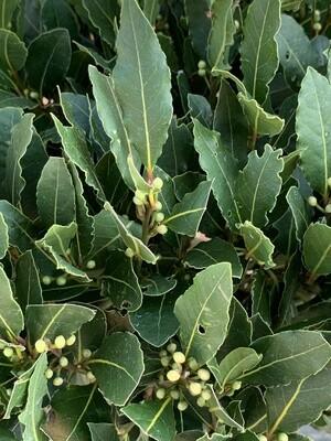 Laurus Nobilis Standard (Bay Tree)