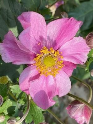 Anemone Hybrid Pink 2L