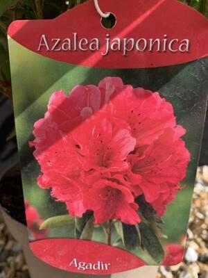 Azalea Japonica Agadir 1L