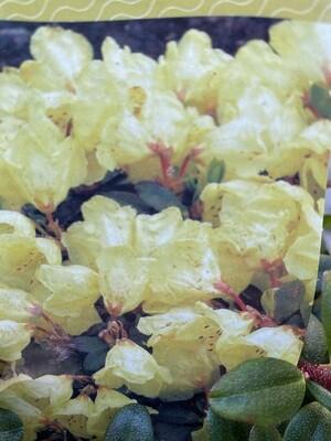 Rhododendron Impeditum Wren Dwarf