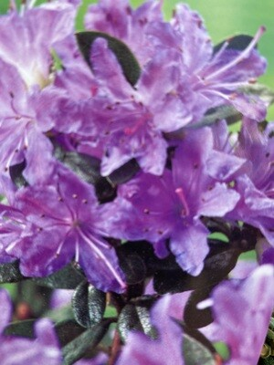 Rhododendron Impeditum Dwarf Purple 3L