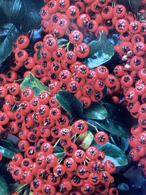 Pyracantha Saphyr Red 4L