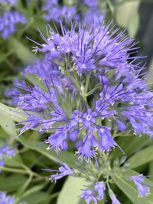 Caryopteris Kew Blue 3L