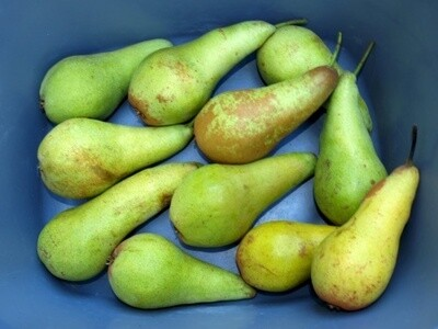 Conference Pears- pack of 4