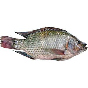 Telapia Fish - Paragon