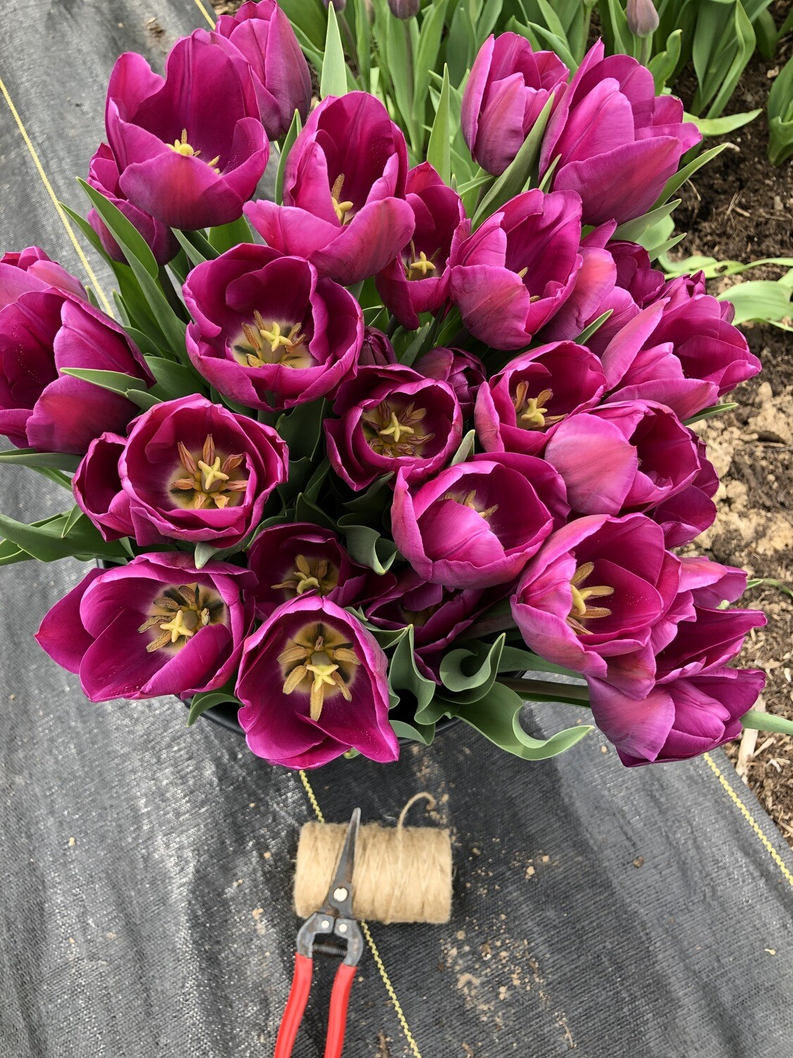Spring Tulip miniCSA;  WEDNESDAYS @ The Alpine Shop- Chesterfield