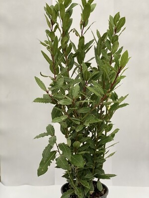 Bay Hedging  (small)