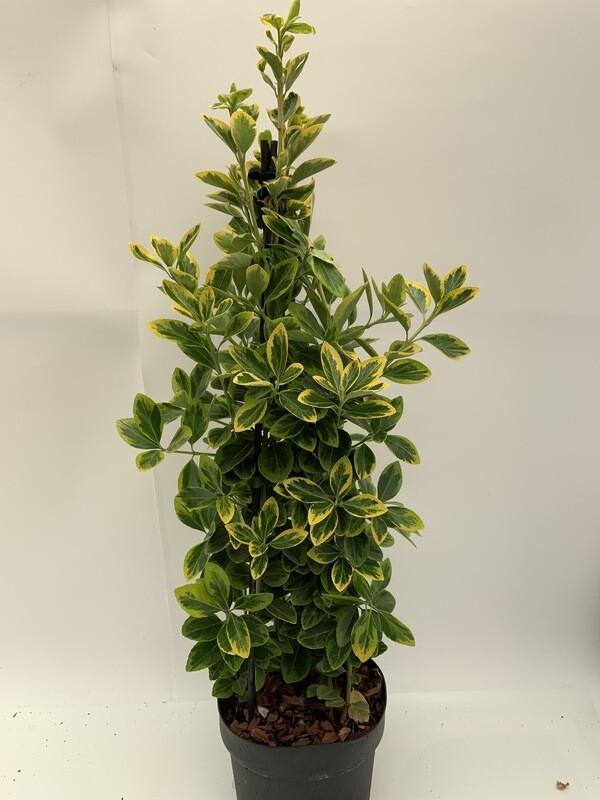 Euonymus Americanus Aureomarginatus