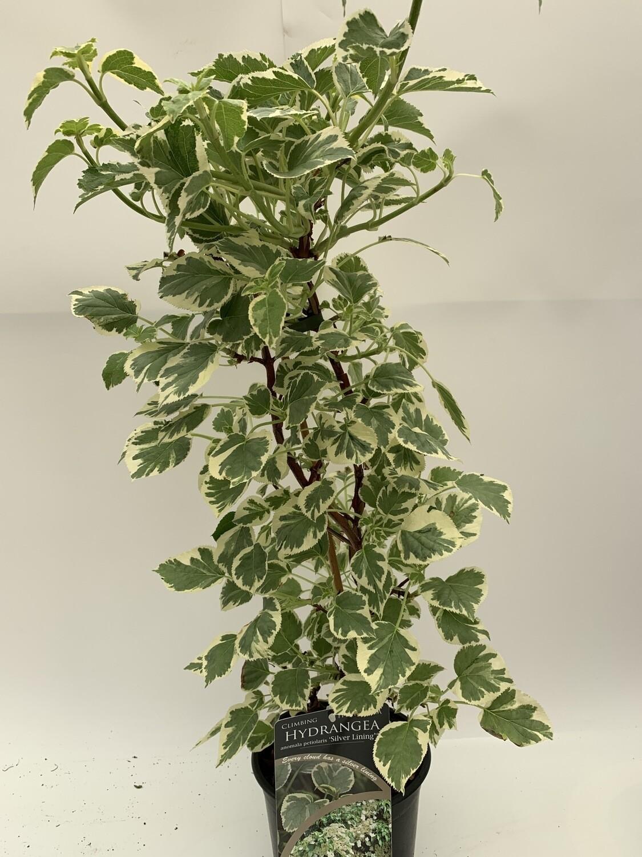 Hydrangea Petiolaris 'Silver Lining'