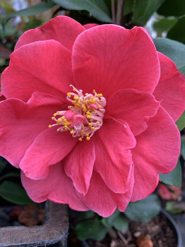 Camellias In Variety