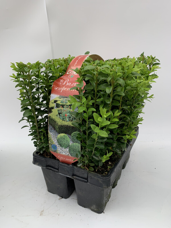 Buxus 'Box' Hedging XL - 6 Pack