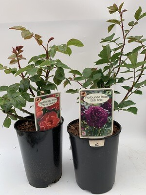 Rose Selection - (2 Bush Roses)