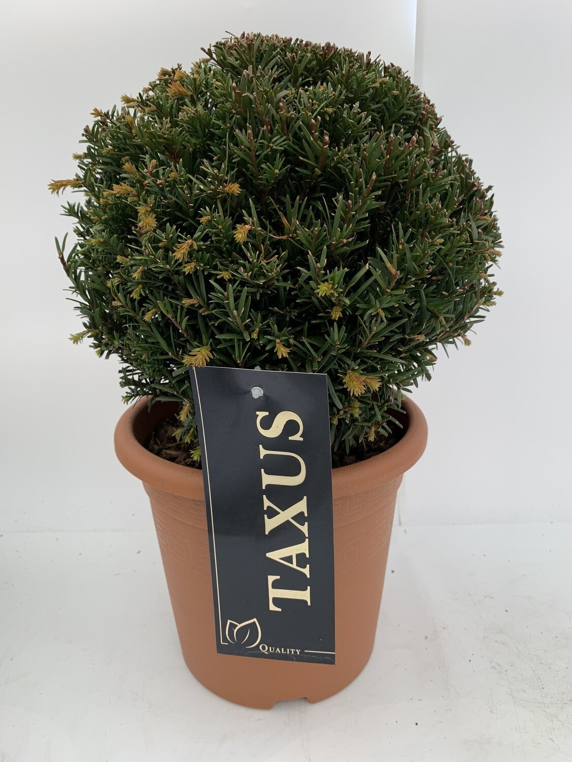 Taxus Yew Topiary Ball