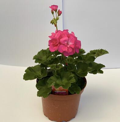 Zonal Geranium - Large Size- Americana/Calliope - PINK