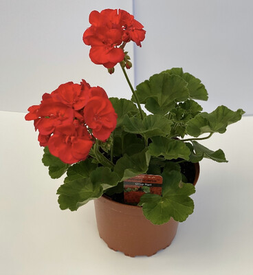 Zonal Geranium - Large- RED- Americana/Calliope