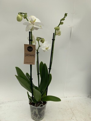 Orchid - Phalaenopsis- White- 2/3 Spike