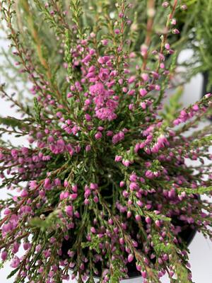 Heathers - Calluna (Summer/autumn Flowering)