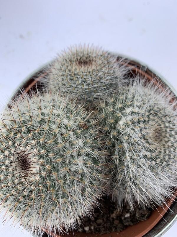 Cactus In Tin Bucket