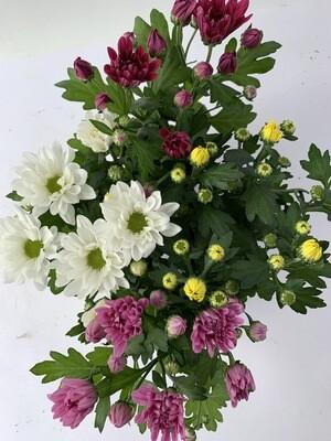 Chrysanthemum Mixed