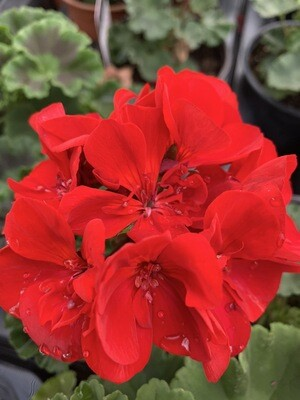 Geranium - Red (tray Of 8 Plants)