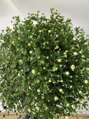 Chrysanthemum 'Rock And Roll' Triple Pot