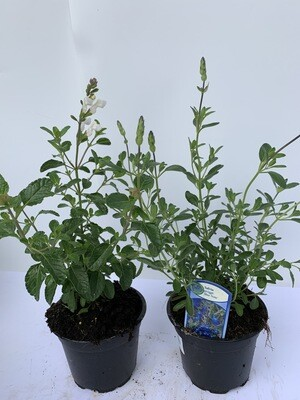 Salvia (mixed Colours)