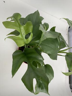 Cheese Plant (Monstera 'minima')