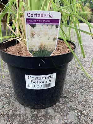 Pampas Grass (Cortaderia selloana)