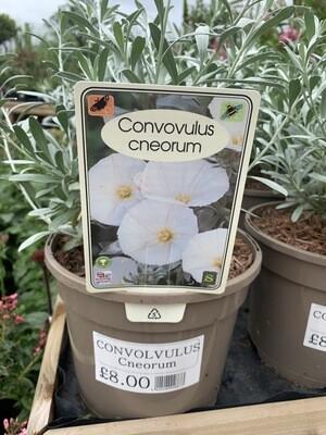 Convovulus Cneorum