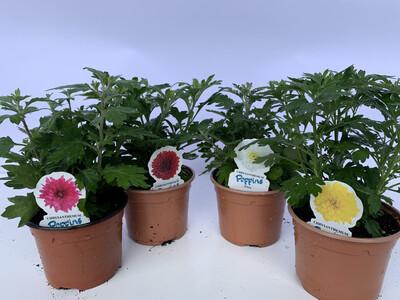 Pot Chrysanthemum