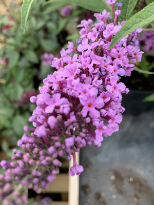 Buddleja in Varieties
