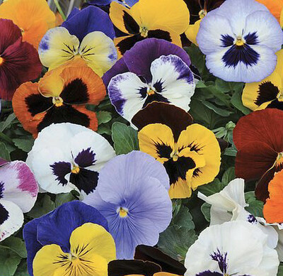 Mixed Pansy Packs