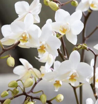 Orchid - Phalaenopsis- White- 2/3 Spike