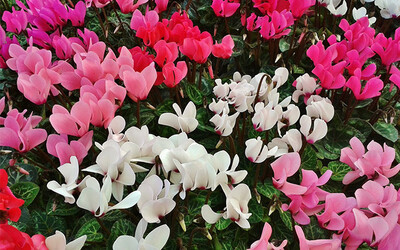 Bedding Cyclamen