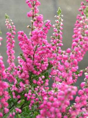 Heathers - Calluna (autumn Flowering)